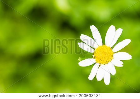 Closeup Of Nice Bloom Of Camomile