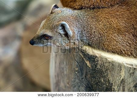 Close-up of yellow mongoose or Cynictis penicillata