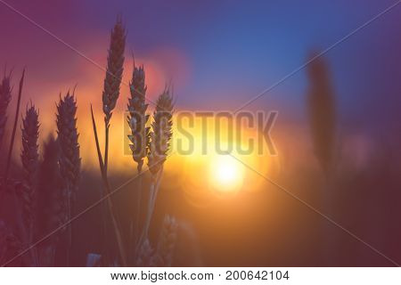 Silhouette of wheat ears in warm sunset light. Natural light back lit. Beautiful sun flares bokeh.