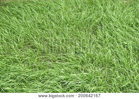 Texture of a fresh grass, view from top