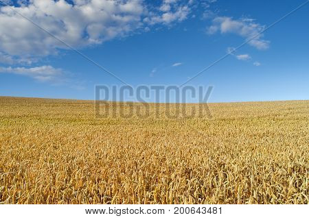 Field Of Wheat On The Background Of The Blue Sky