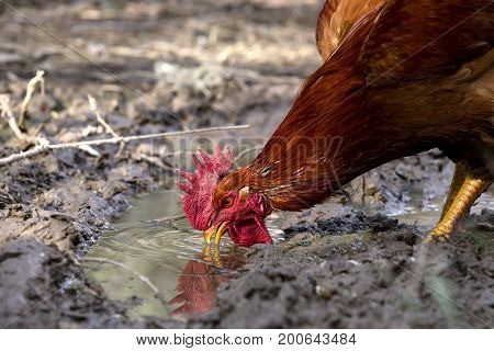 The rufous rooster drinks water from a puddle