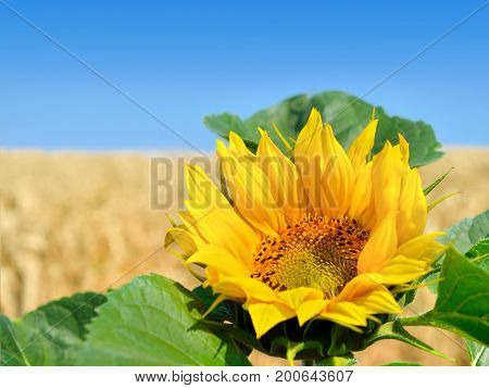 Lone Sunflower On The Background Of The Wheat Field