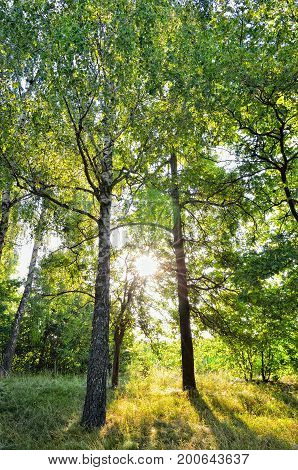 Morning Sun Rays In Summer In The Forest