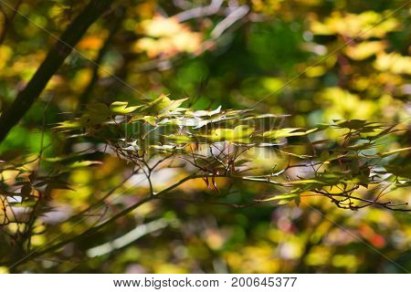 Lush Green and yellow Asian maple leaves with a branch in front surrounded by light.