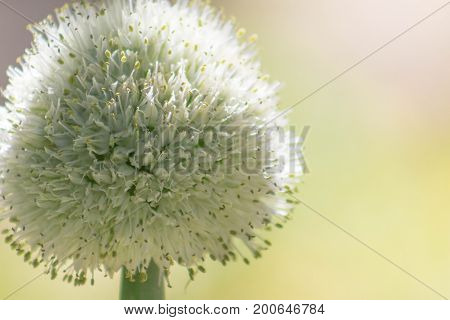 Close-up of a large flowering garden onion with a cream background illuminated by the sun.