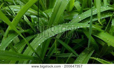 Grass background. Fresh springs grass after rain.