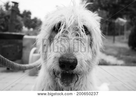 Black and white portrait of dog (Irish wolfhound) lying in the garden. White dog posing into the camera. Irish wolfhoud dog smilling on portrait bwlack and white photography.