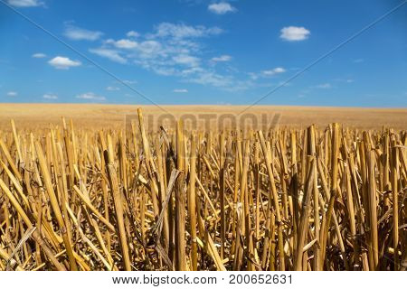 View of straw field after harvest with blue sky and clouds. Gold wheat field in summer. Agriculture field after harvest. Spikes of straw. Field in countryside with blue sky at sunny day.