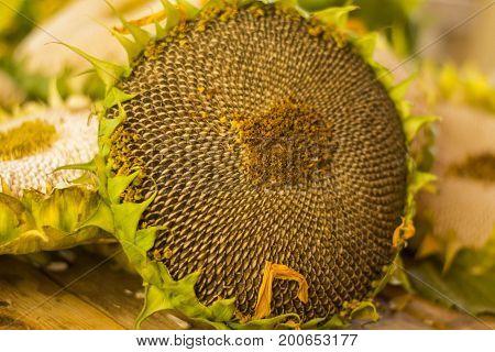 Sunflower is a nice piece of flower
