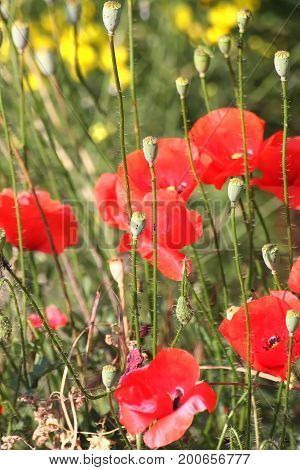 Boxes and flowers of wild poppy in the mountains. Greece