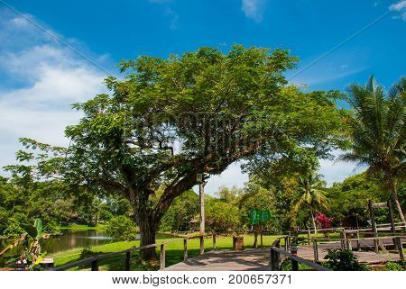 Huge Trees And A Wooden Road. Kuching To Sarawak Culture Village. Malaysia