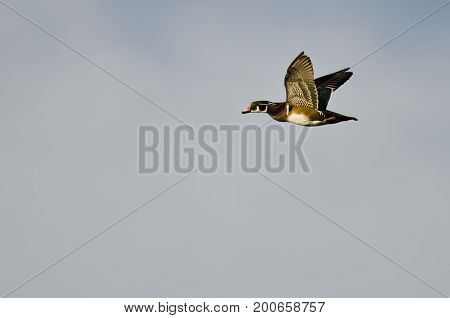 Male Wood Duck Flying in an Overcast Sky