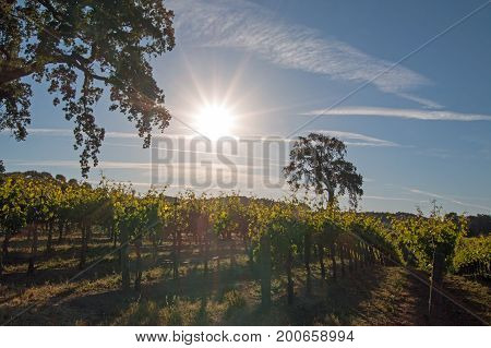 Sun Shining On California Valley Oak Tree In Paso Robles Vineyard In The Central Valley Of Californi