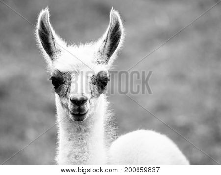 Baby llama portrait. Cute south american mammal. Black and white image