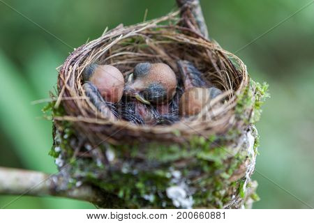 Newborn Baby Birds Nest. Young Wild Birds Sleeping In Their Birds Nest. Fresh Brood Of Wild Tropical