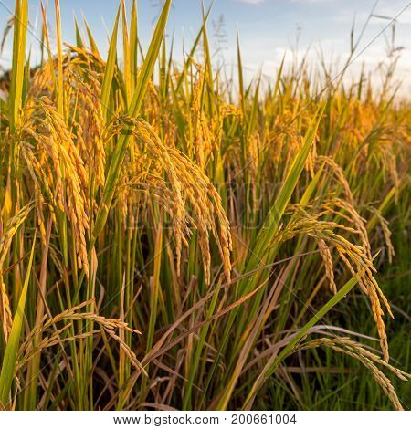Rice Ears Hanging Down From The Stems. Golden Rice Ears Lit By The Setting Sun. Harvest Of Rape Rice