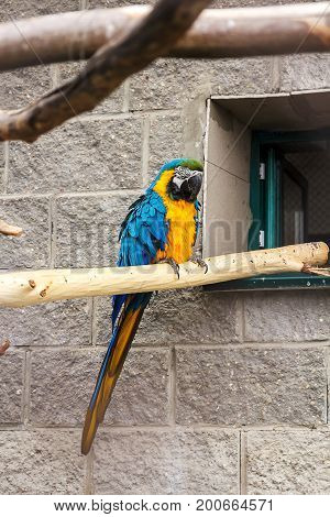 A Pair Of Blue-and-yellow Macaws Ara Ararauna Perched In The Jungle.