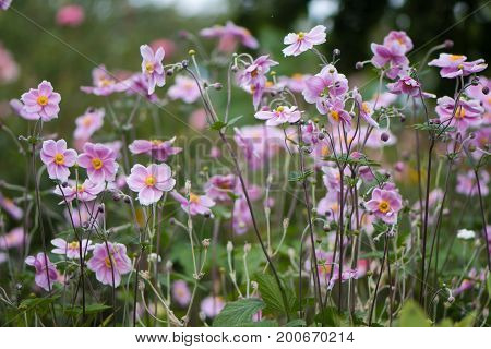 Japanese anemone (Anemone hupehensis) plants in flower. Pink garden plant in the family Ranunculaceae aka Chinese anemone thimbleweed or windflower