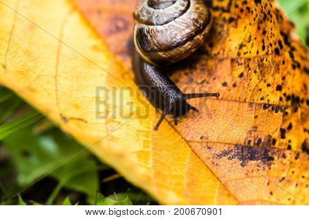 Small Cute Snail Crawling On Yellow Autumn Leaf