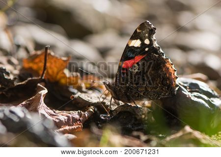 Red admiral butterfly (Vanessa atalanta) feeding on fallen fruit. Insect in the family Nymphalidae at rest using proboscis to take sugar from plums under tree