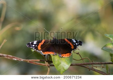 Red admiral butterfly (Vanessa atalanta) with wings open. Insect in the family Nymphalidae at rest showing orange and white markings on upperside of wings