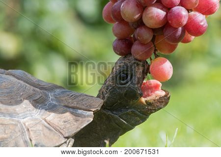 Tortoise with mouth open eating grapes. Pet tortoise showing beak and tongue as it stretches to take fruit