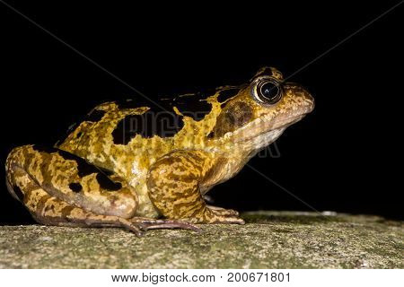 Common frog (Rana temporaria) with bold markings. Brightly marked amphibian in the family Ranidae against black background