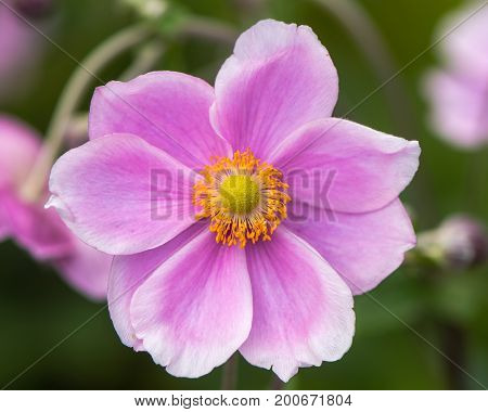 Japanese anemone (Anemone hupehensis) flower. Pink garden plant in the family Ranunculaceae aka Chinese anemone thimbleweed or windflower