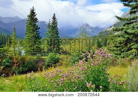 Alpine Flowers On The Foreground And Canadian Rockies On The Background. Icefields Parkway Between B