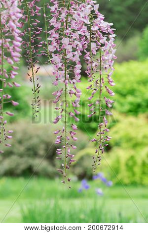 Pink wisteria hanging down from the vine.