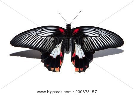 Papilio Rumanzovia Butterfly Isolated On White