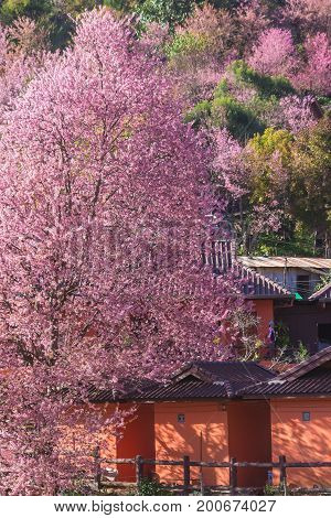 Sakura Thailand or Cherry blossom flower bloom on the little village mountain. In front of wooden house in the north of Thailand in full bloom Wild Himalayan Cherry (pink blossom flower) mountain.