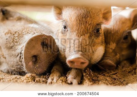 Baby boar and family in the farm,cute wildlife animal