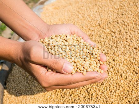 Soybean seed in hand,Agricultural harvest in crop field