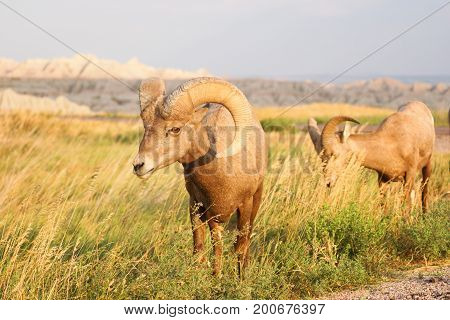 A big game animal Bighorn Sheep stands grazing with mate