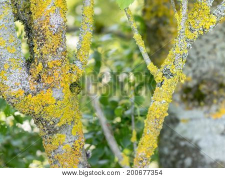 closeup shot showing some yellow and orange lichen on twigs