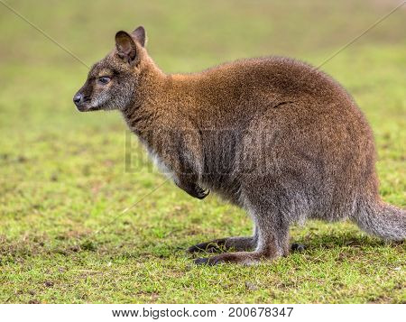 Full Portrait Of A Bennet Wallaby