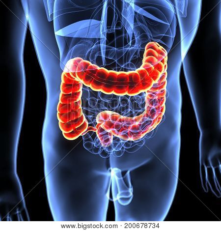 3D Illustration of Human Digestive System Anatomy (Large intestine)