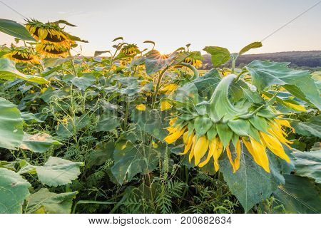 Field of sunflowers bow down on a rural farm at sunset