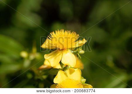 Flower of a Shrubby st. john s wort (Hypericum prolificum)