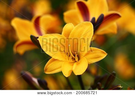 Bright flower of a day lily of yellow color among many same.
