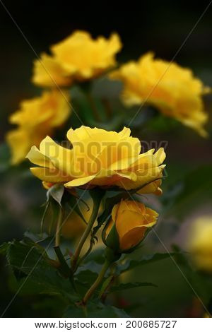 Buds of bright yellow roses in a combination to green foliage.