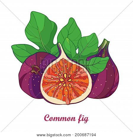 Vector composition with outline Common Fig or Ficus carica. Ripe purple fruit slice and green leaf isolated on white background. Perennial subtropical plant in contour style for exotic summer design.