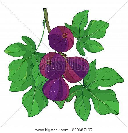 Vector branch with outline ripe Common Fig or Ficus carica fruit in purple and green leaf isolated on white background. Perennial subtropical plant in contour style for exotic summer design.
