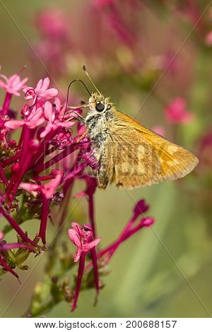 Skipper clings to flower. A close up of a small brown skipper moth on a flower in Idaho.