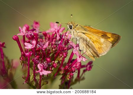 Small moth on red flower. A close up of a small brown skipper moth on a flower in Idaho.