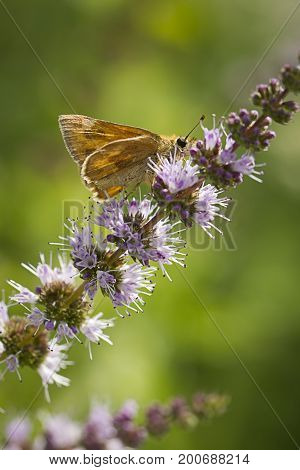 Small moth on purple flower. A close up of a small brown skipper moth on a flower in Idaho.