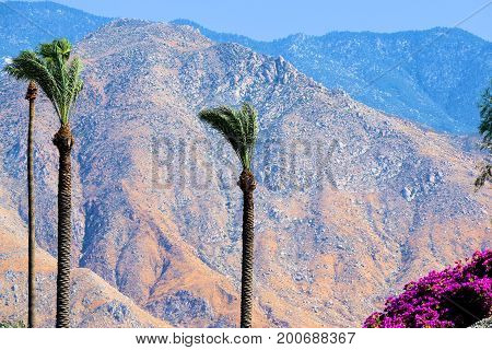 Palm Trees blowing in the wind beside flowers taken at a garden with rugged desert mountains beyond taken in Palm Springs, CA