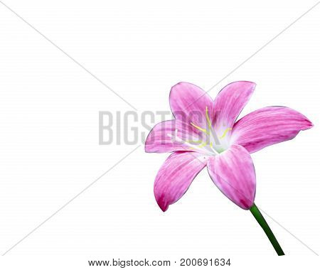 Fairy Lily isolated pink background zephyr white zephyranthes rosy lilies beautiful flowers
